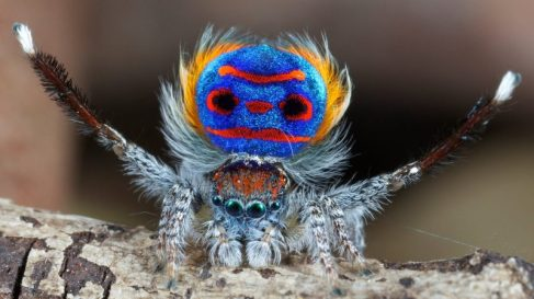 Peacock spider, Australia / Jurgen Otto, EarthSky.org / Click for more.