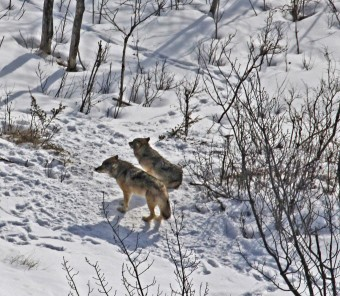 Last 2 wolves on Isle Royale National Park, Michigan, February 27, 2017 / Rolf Peterson, Michigan Tech, Michigan Radio / Click for more.