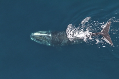 Right whale, south of Martha's Vineyard, undated / NOAA, NEFSC, Christian Kahn, Permit #17355 / Click for more.