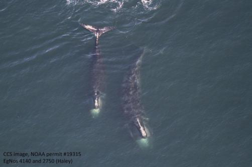 Right Whales off Cape Cod, Feb 14, 2017 / NOAA, Vineyard Gazette / Click for more.