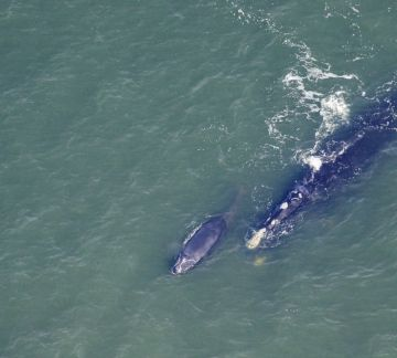 Right whale mom and calf off Georgia, January 2017 / Sea To Shore Alliance, NOAA, The Post and Courier / Click for more.