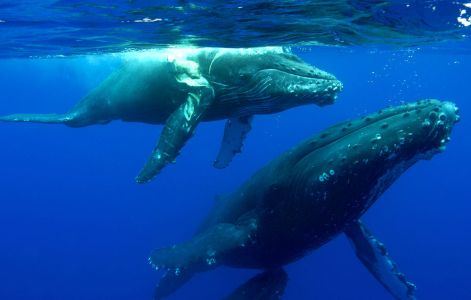 Humpback calf with ship-strike injury off Maui, undated / Ed Lyman, NOAA, MMHSRP, Sailing World / Click for more.