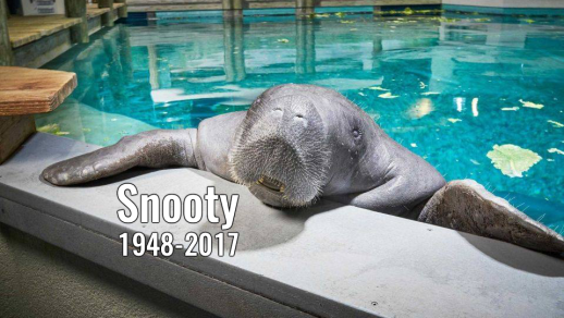 Snooty, South Florida Museum, undated / Click for more.