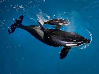 Captive Orca Takara and new calf, SeaWorld San Antonio, April 19, 2017 / SeaWorld, AP, USA Today / Click for more.