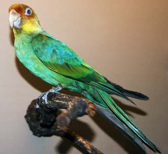 Carolina Parakeet, Field Museum of Natural History, Chicago / Wikimedia Commons, The Conversation / Click for more.