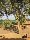 Jackfruit tree, goats, Kisoro, road to Queen Elizabeth NP