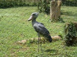 Shoebill. We didn't see one in the wild, and Kenneth really wanted us to see one. Entebbe Zoo