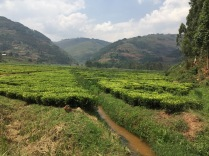 Tea plantation, road to Bwindi