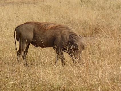 Warthog, Queen Elizabeth NP