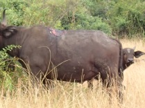 Cape buffalo recently attacked by lion, Queen Elizabeth NP