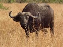 Cape buffalo, Queen Elizabeth NP