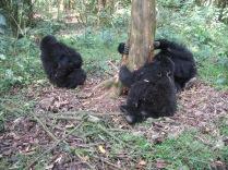 Kids chewing around base of tree, Hirwa Group, Volcanoes NP