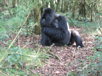 Mr. Lucky keeping an eye on things, Hirwa Group, Volcanoes NP