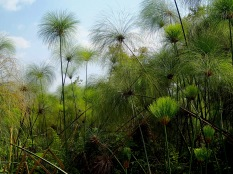 The boardwalk passes through a beautiful papyrus grove, Bigodi Wetlands Sanctuary