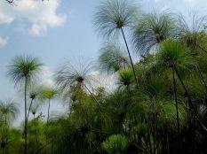 Papyrus grove, Bigodi Wetlands Sanctuary