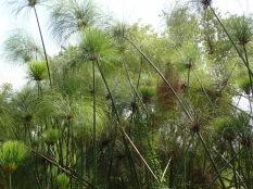 Papyrus, Bigodi Wetlands Sanctuary