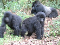 Mr. Lucky and some of his kids (they're all his kids), Hirwa Group, Volcanoes NP