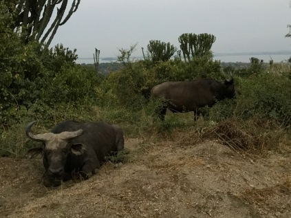 Cape buffalos, exiled from herd, resting near the road just outside the gate to Mweya Safari Lodge, Mweya Peninsula, Queen Elizabeth National Park