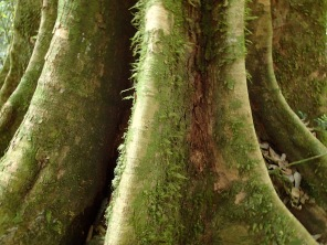 Rainforest tree with tall buttress roots, Kibale Forest NP