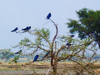 Unidentified blue flocking birds, Queen Elizabeth NP