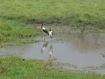 Lucky sighting of Saddle-billed stork, Queen Elizabeth NP