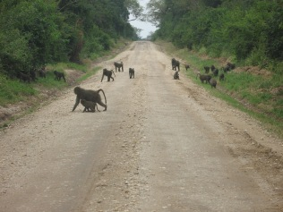 Baboons on the road, Queen Elizabeth NP