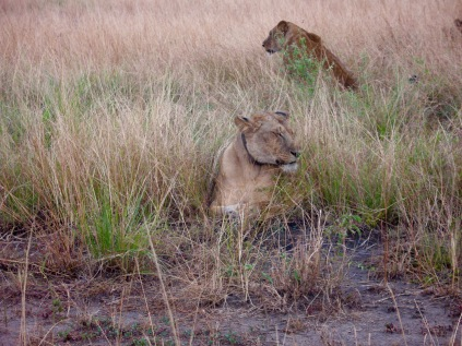 Lions, Kasenyi, Queen Elizabeth National Park