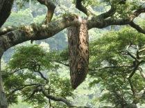 Ant or wasp nest, Bwindi Impenetrable National Park