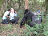 Silverback Mr. Lucky walking past trekkers on way to check on his kids, Hirwa Group, Volcanoes NP