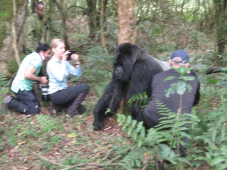 Silverback Mr. Lucky walking past trekkers to check on his kids, Hirwa Group, Volcanoes National Park