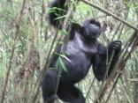 Blackback in bamboo grove, Hirwa Group, Volcanoes NP