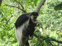 Colobus monkey, Bwindi Impenetrable National Park
