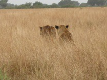 Lions, Kasenyi, Queen Elizabeth NP