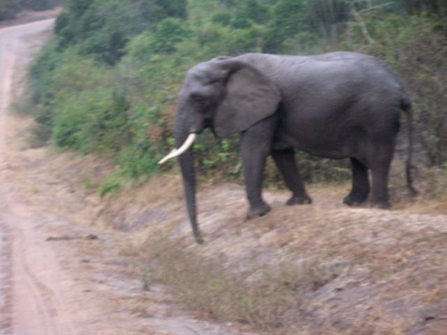 Lucky sighting of elephants crossing road, Mweya Peninsula, Queen Elizabeth NP