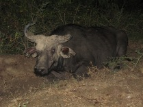 Cape buffalo, exiled from herd, Mweya Peninsula, Queen Elizabeth NP