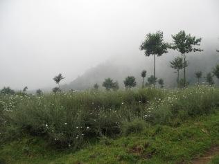 Pyrethrum field, Bisate