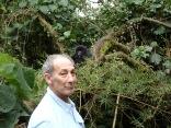 Marc, young gorilla in brush, Hirwa Group, Volcanoes NP