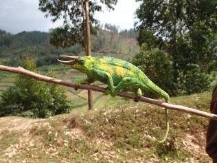 Rhinoceros chameleon, Bwindi Impenetrable NP