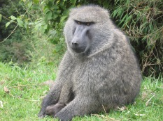 Baboon, road to Lake Bunyonyi