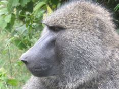 Surprisingly handsome baboon profile, road to Lake Bunyoni