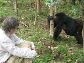 Female gorilla snacking on Eucalyptus tree pulp, Kinigi