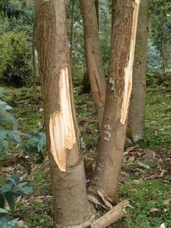 Eucalyptus tree after female was through ripping off bark and scraping pulp, farmland bordering Volcanoes NP, Kinigi