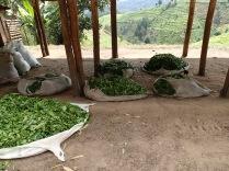 Tea leaves, road to Bwindi