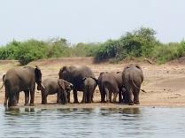 Elephants along Kazinga Channel, Queen Elizabeth NP