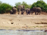Elephants leaving Kazinga Channel, Queen Elizabeth NP