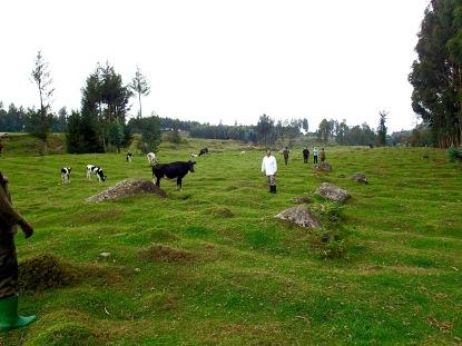 Trekkers crossing farmland to waiting vehicles after trek, Kinigi