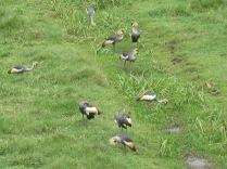 Lucky sighting of endangered grey crowned cranes, national bird of Uganda, road to Lake Bunyonyi