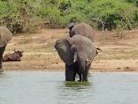 Elephants drinking, Kazinga Channel, Queen Elizabeth NP