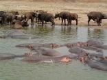 Hippos, Cape Buffalo, Kazinga Channel,Queen Elizabeth NP
