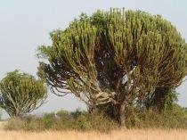 Candelabra trees, Queen Elizabeth NP